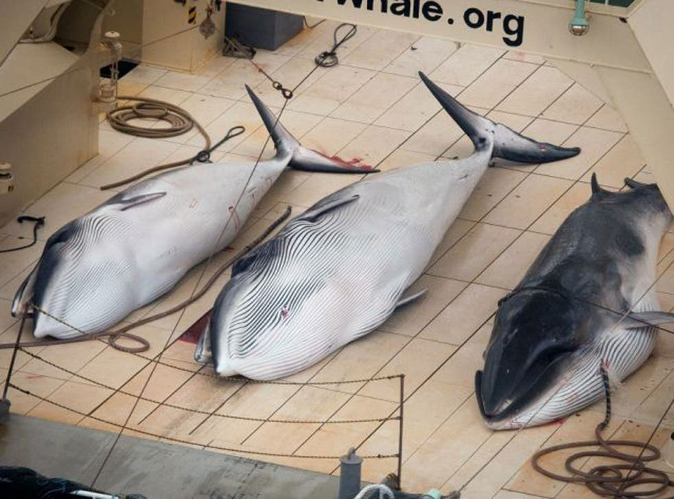 In this file photo supplied by Sea Shepherd Australia on 6 Jan, 2014, three dead minke whales lie on the deck of the Japanese whaling vessel Nisshin Maru, in the Southern Ocean
