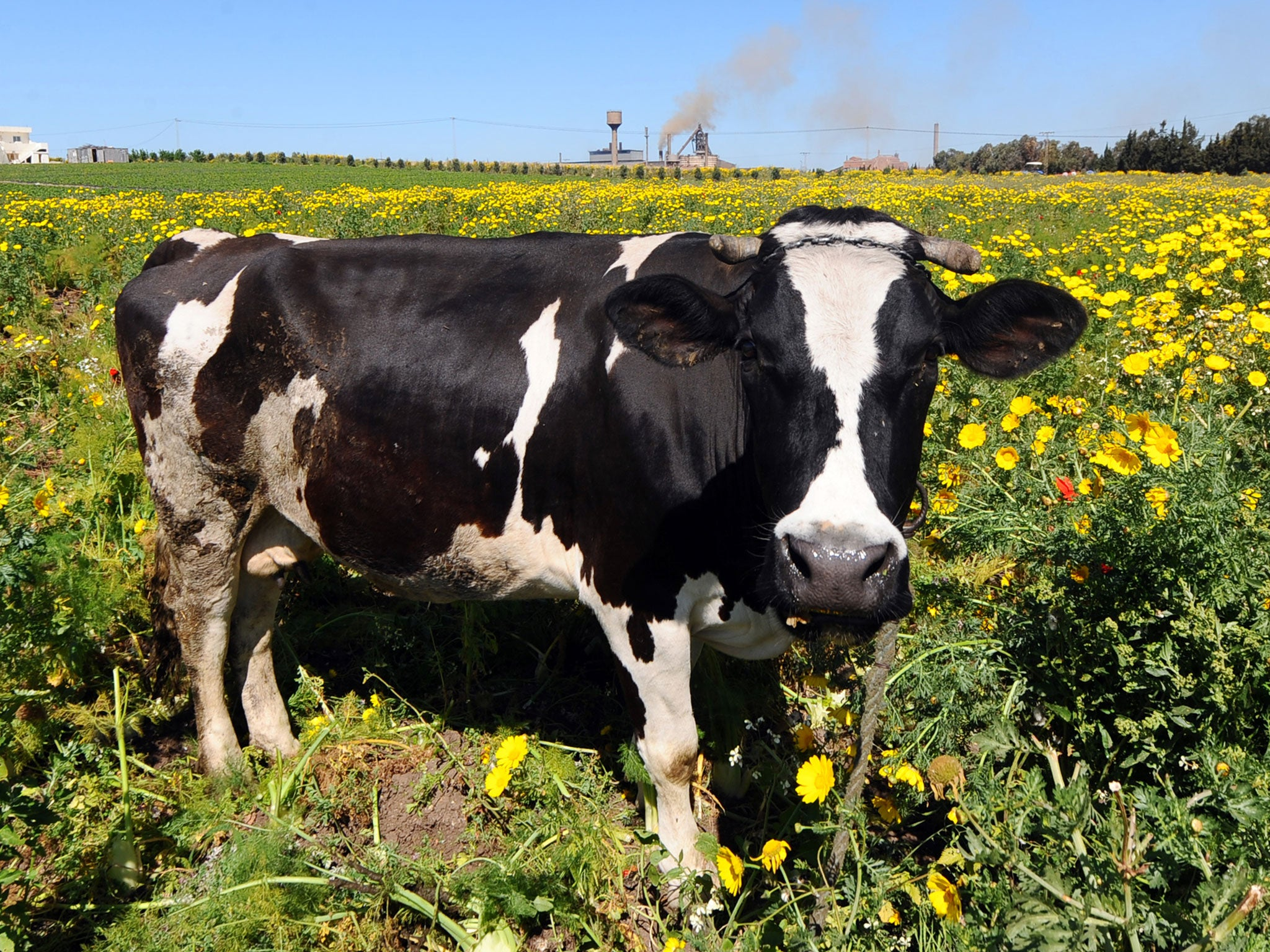 ninety flatulent cows start fire at dairy farm in germany the