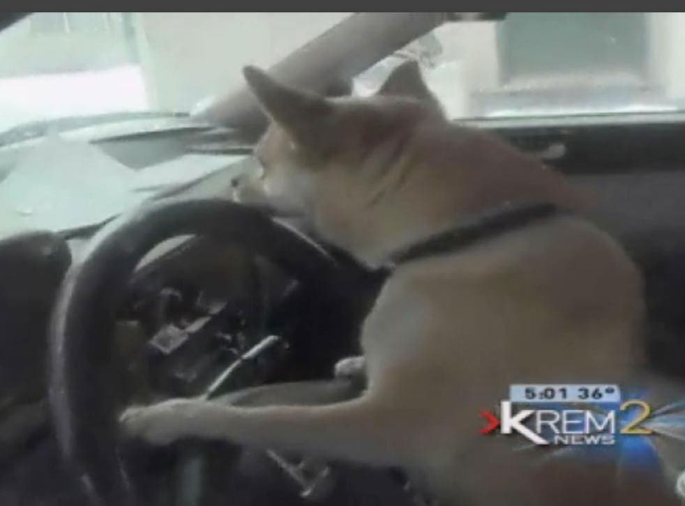 The 'joyriding' chihuahua at the centre of the minor crash