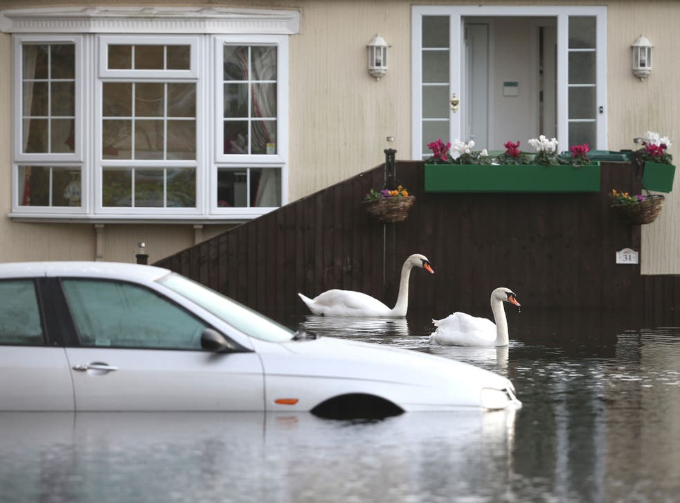 Swans explore the Abbey Fields caravan park after the River Thames flooded in Chersey