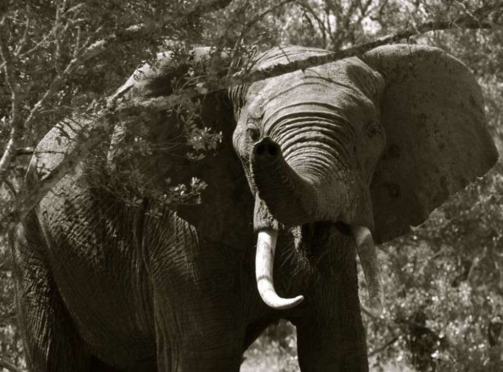 Call of the wild: An international conference in London next month will address elephant poaching