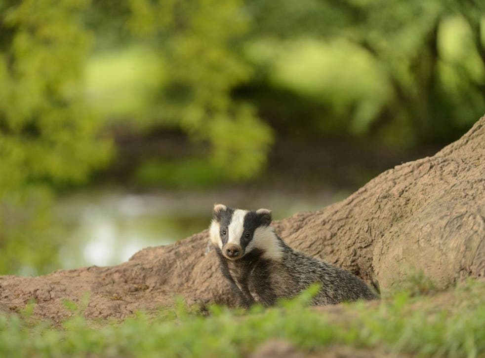 Moving target: Badgers blamed for the spread  of bovine TB have been shot