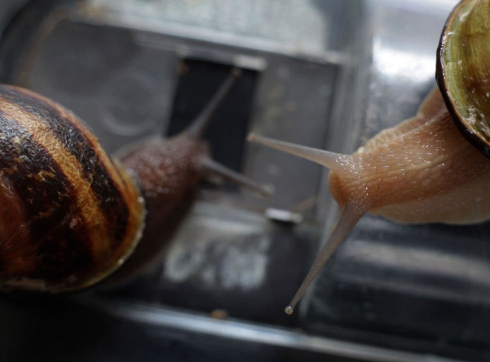 Large breeding snails of the 'gros gris' variety in Helen Howard's production unit