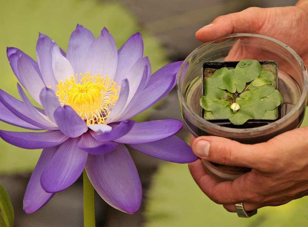 Growing profits: The tiny Nymphaea thermarum lily, which is extinct in the wild, was stolen from Kew Gardens last week and could be worth thousands of pounds on the black market