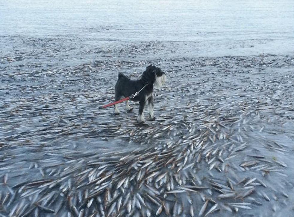 The huge shoal of herring were swimming too close to the surface when the water suddenly froze around them, completely stopping them in their tracks and creating the incredible sight.