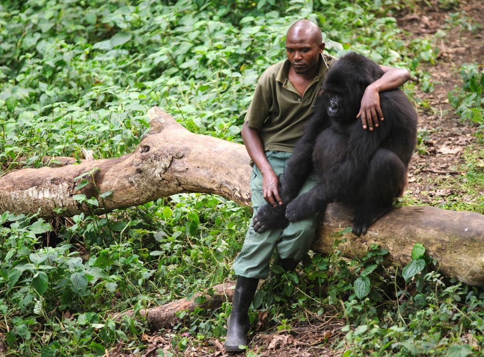 Wild? A National Park warden sits with an orphaned mountain gorilla
