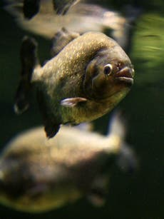 Piranha attacks on swimmers in Brazil leave over 50 people injured