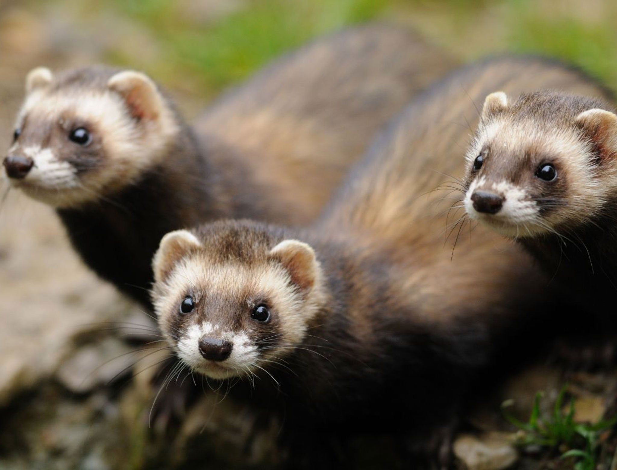 Nature Studies: Pity the poor polecat, the embodiment of