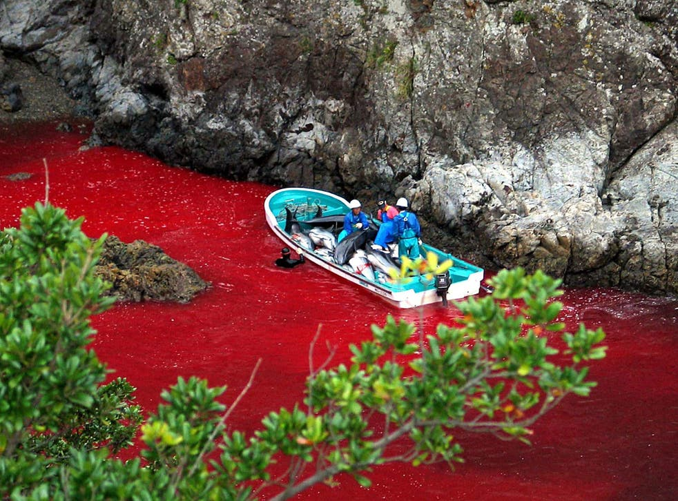 Japanese fishermen transporting slaughtered dolphins in Taiji harbour; the water of the cove is red with the blood of dead animals. Locals brand criticism of the cull 'cultural imperialism'