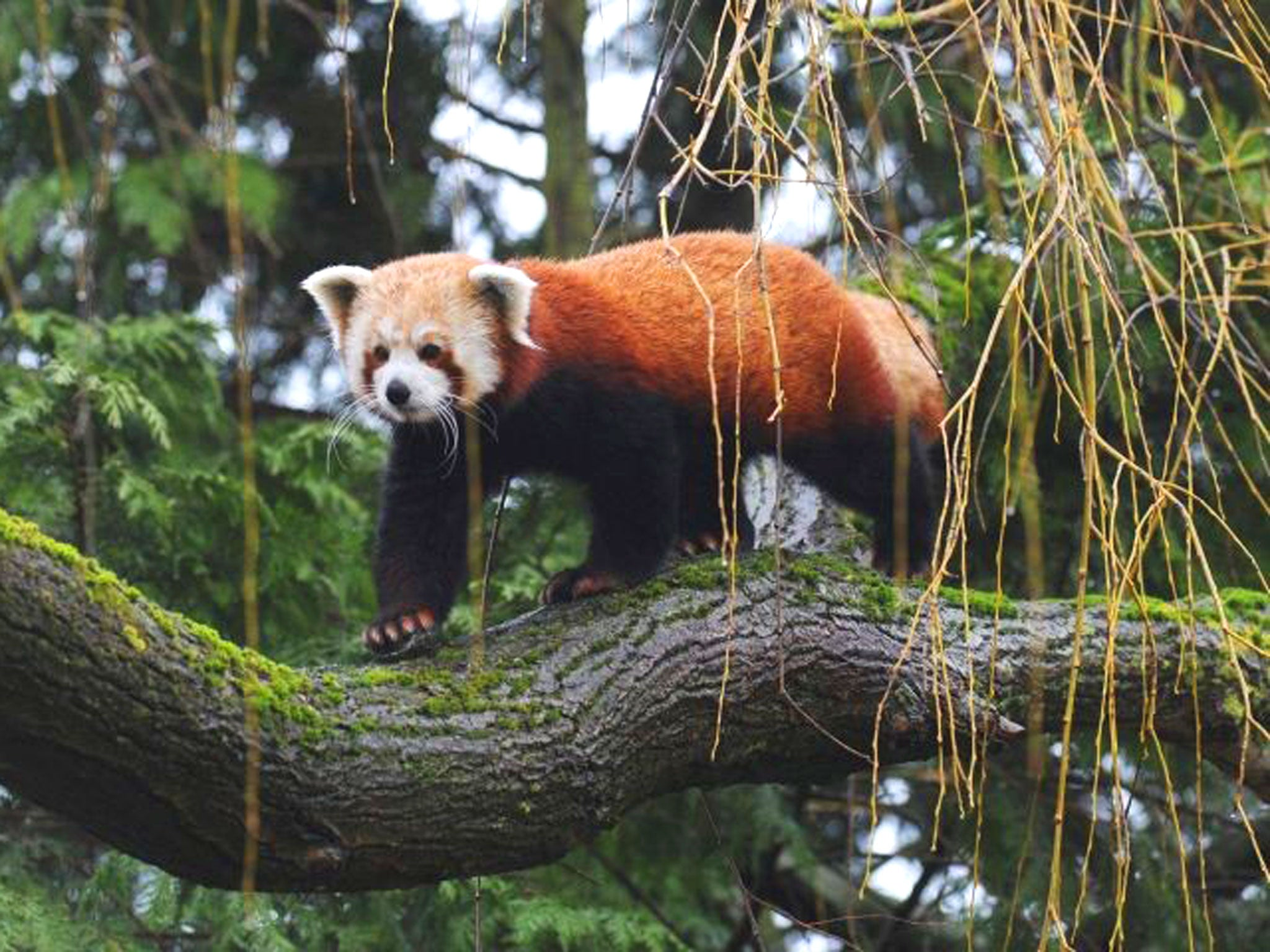 Birth of twin red pandas gives hope for future of one of the