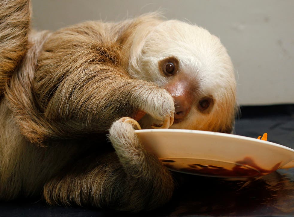 A rescued baby sloth eats at a Sloth Sanctuary in Costa Rica.