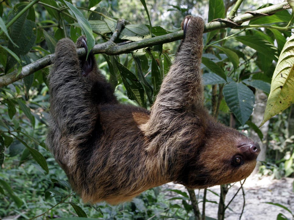 why do sloths hang upside down the independent