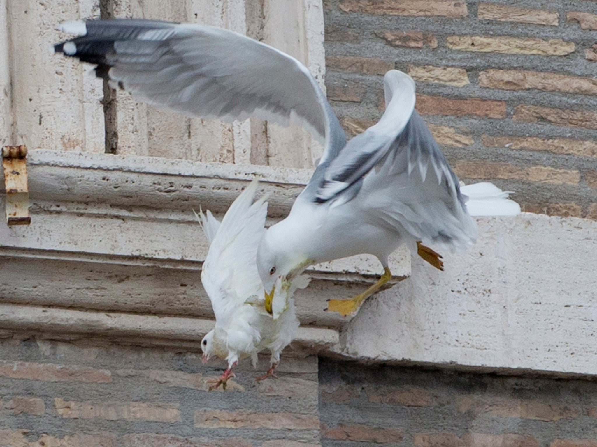 Popes White Doves Of Peace Attacked By Gull And Crow After Being