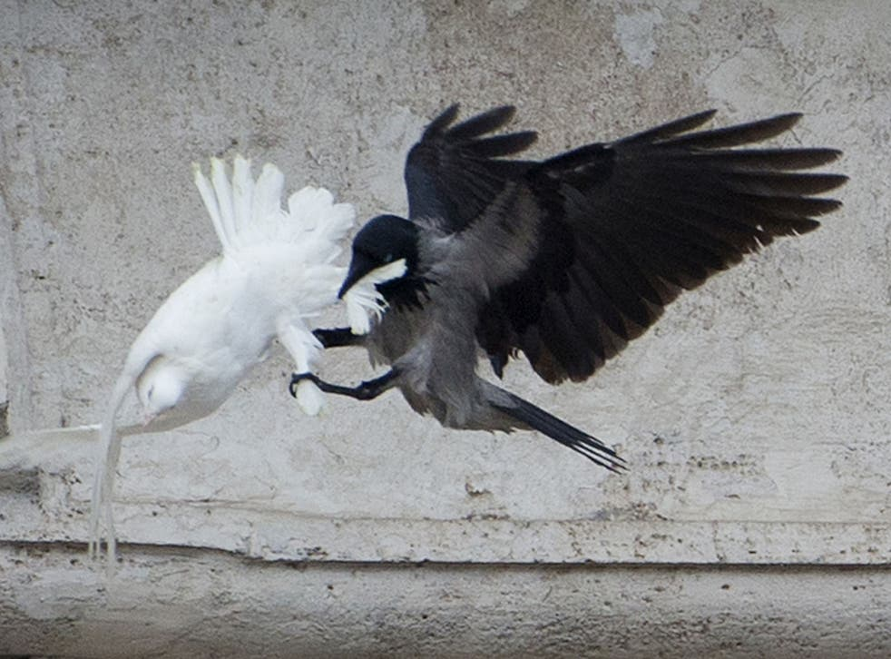 The crow pecked repeatedly at the other dove