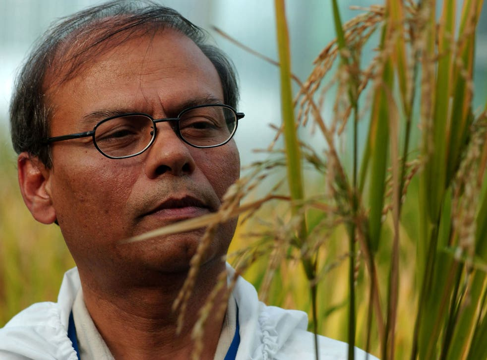 Plant Biotechnologist Dr. Swapan Datta inspects a genetically modified 'Golden Rice' plant
