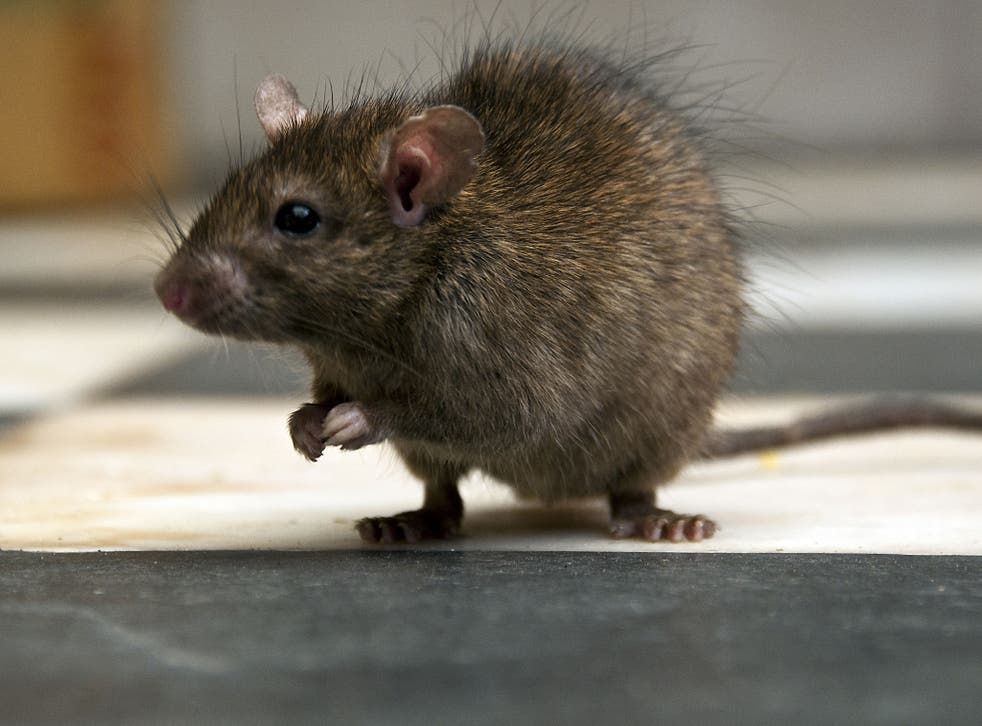 Rats could one day grown as big as sheep, according to scientists