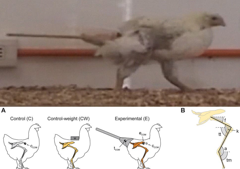 Scientists strap fake dinosaur tail on chickens to discover