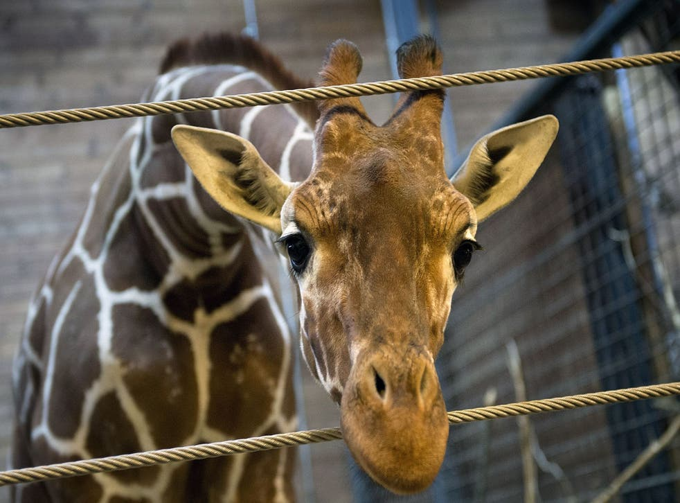 Thousands of people had signed online petitions in an attempt to save the male animal, Marius (not pictured) who was destroyed because he resulted from in-breeding.