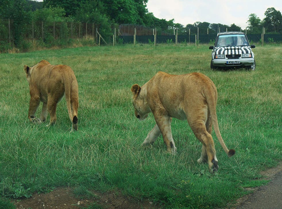 Two female lions in their enclosure in Longleat Safari Park. A spokesperson confirmed reports that six lions were put down due to 'severe health risks' from overpopulation