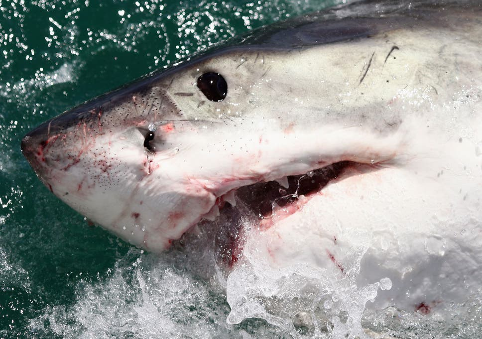 Super predator' that devoured Great White was probably a
