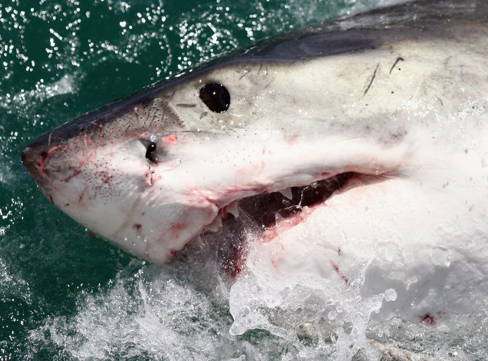 A Great White Shark is attracted by a lure in South Africa. Darren Mills claims he was bitten by a Great White off the coast of New Zealand.