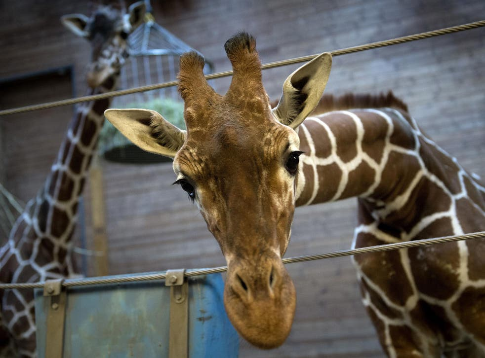 Marius who was shot dead and autopsied in the presence of visitors to the gardens at Copenhagen zoo