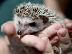 Read more  Forget Patagonian toothfish, hedgehogs need our help