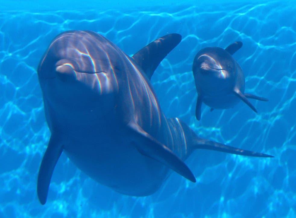 Bottlenose dolphins have evolved to have complex vaginal structures