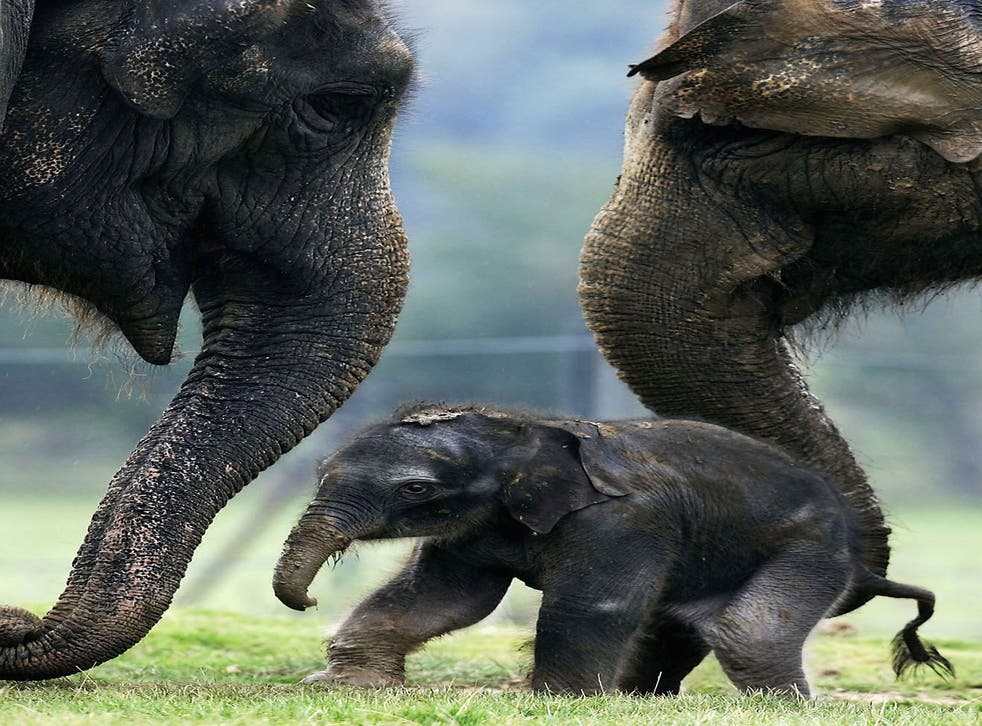 A baby Asian elephant