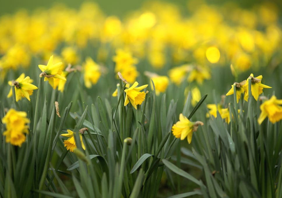 More Interesting Than Food Narcissus >> I Wandered Lonely Through A Secret Daffodil Wood The Independent
