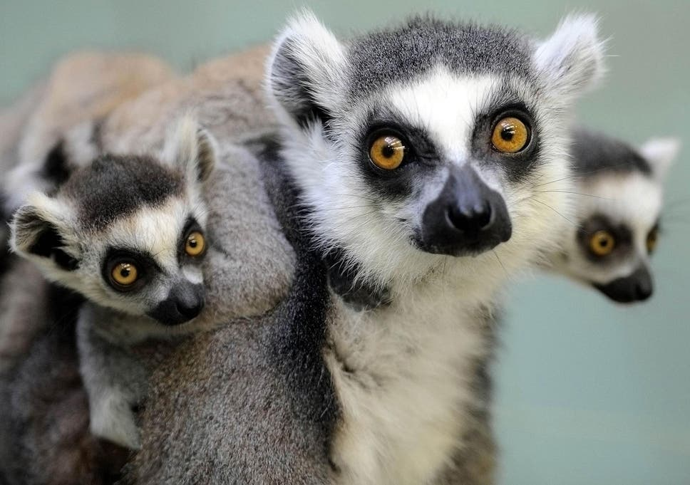ring tailed lemurs engage in stink flirting to attract mates the