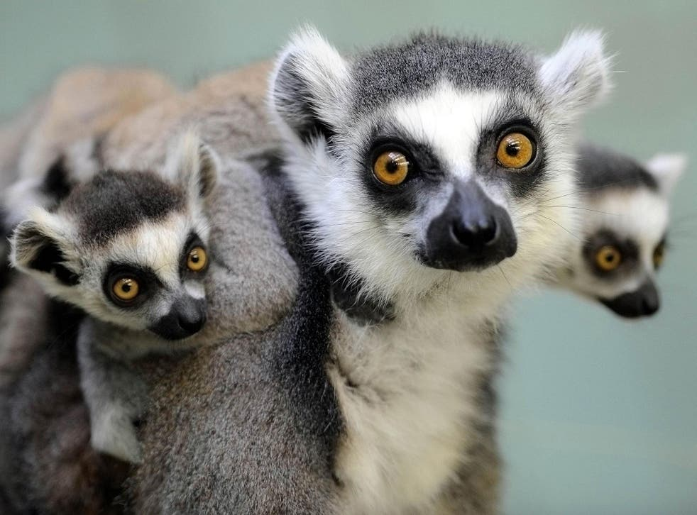 Two ring-tailed lemur babies sit on their mother's back.