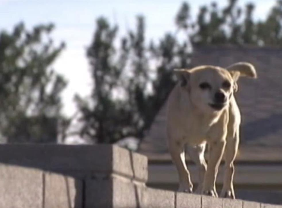 Residents of an Arizona neighbourhood say they are being terrorised by pack-forming stray Chihuahuas, who are running rampage in the suburb of Maryvale.