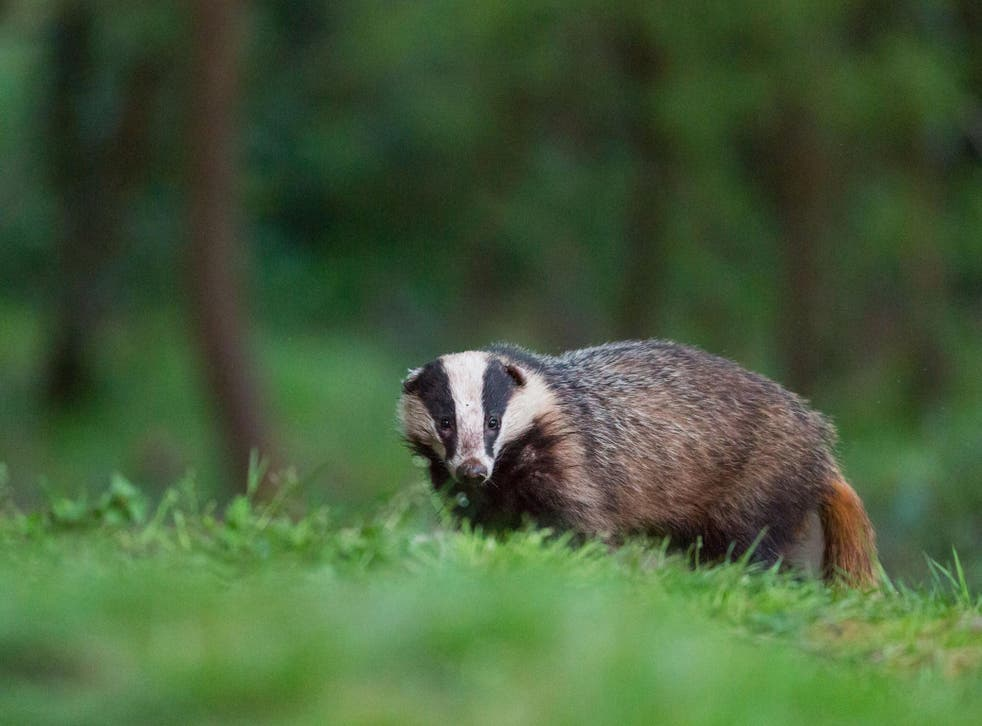 Badgers have been killed in 10 zones across the country