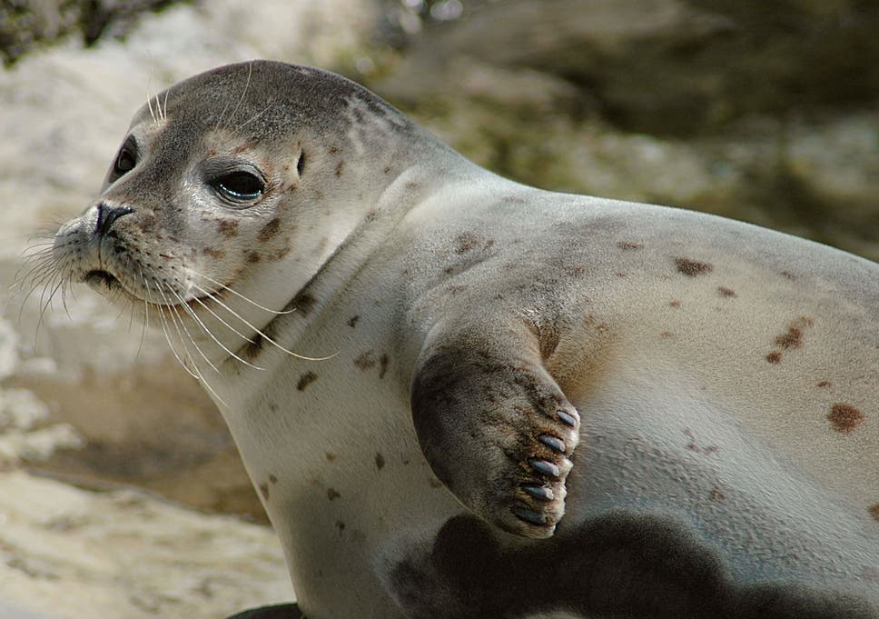 Harbour Seal Populations In Scotland Are Protected By The EUs Habitat Directive