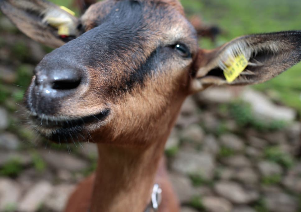 Nigerian Man Arrested For Having Sex With A Goat Claims He Asked