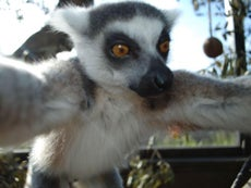 Say cheese! Lemur takes a selfie at London Zoo