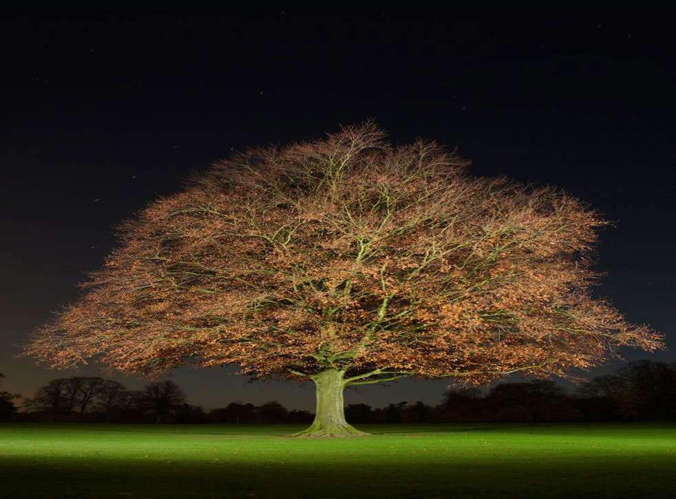 A copper beech tree - part of Jean-Luc Brouard's series of night-time tree portraits, 'Nocturnal Arboreal'