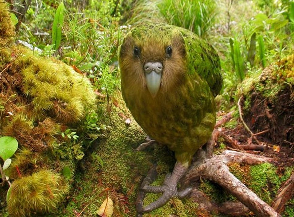 A ground-dwelling, nocturnal and thoroughly rotund kakapo