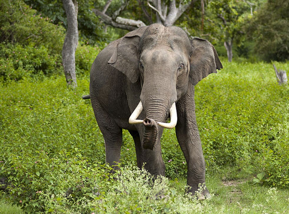 An Indian elephant. A rampaging elephant (not pictured) smashed a house to bits in an Indian village, but turned back and rescued a baby trapped in the rubble, a couple have claimed