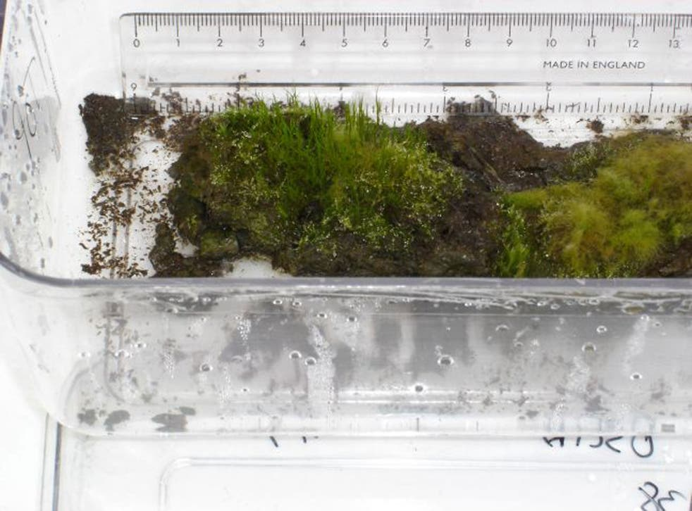 Samples of the plant, estimated to be at least 1,530 years old, were recovered from Signy Island in Antarctica and revived in a laboratory