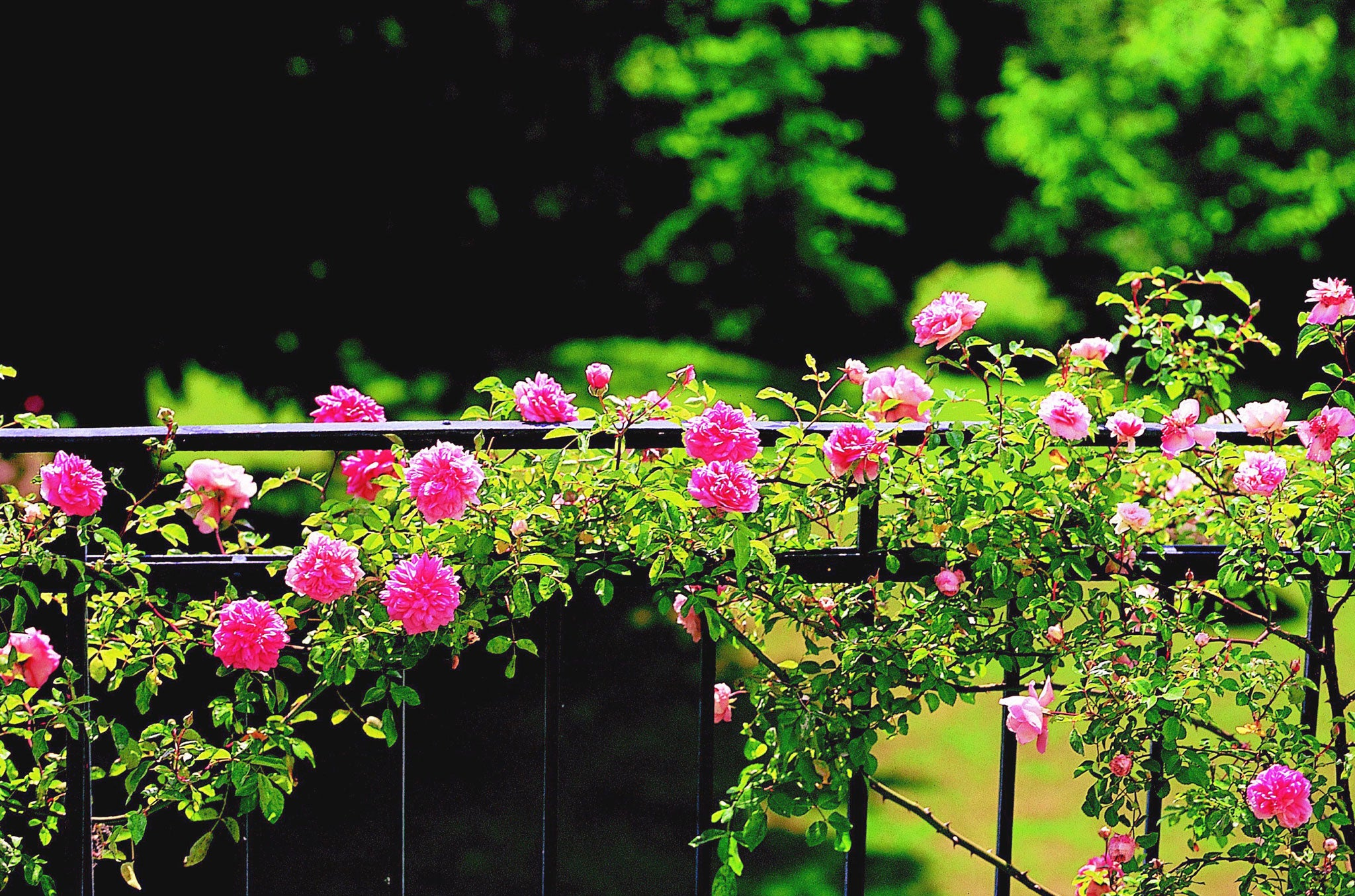 How to train your climbing roses