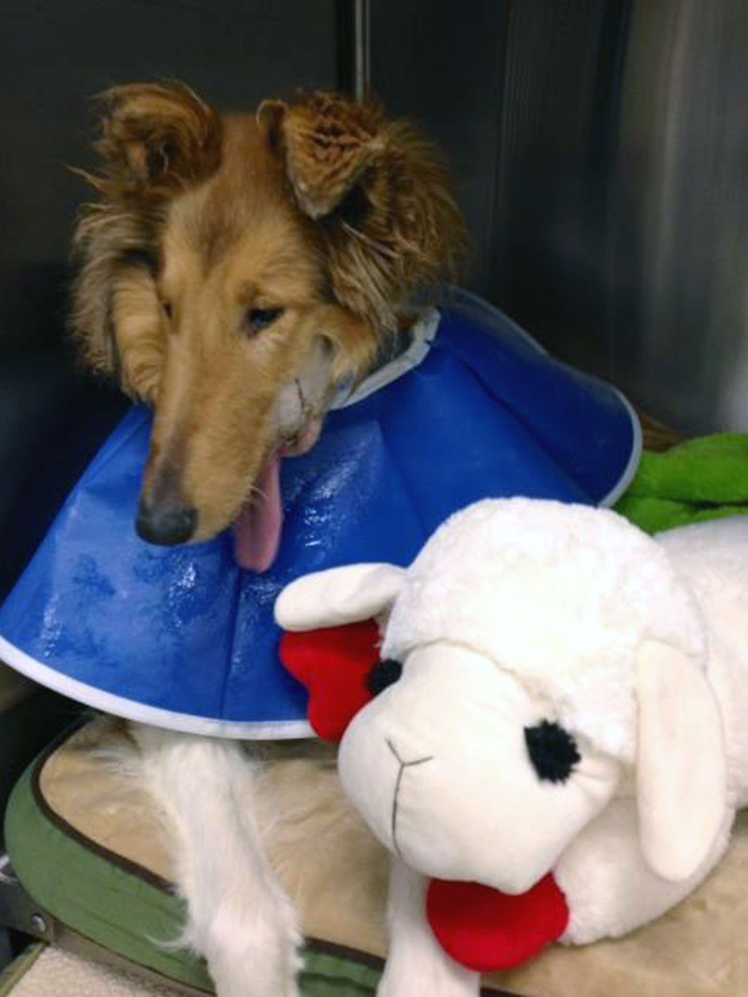 Lad - the dog who lost his lower jaw - to undergo reconstructive