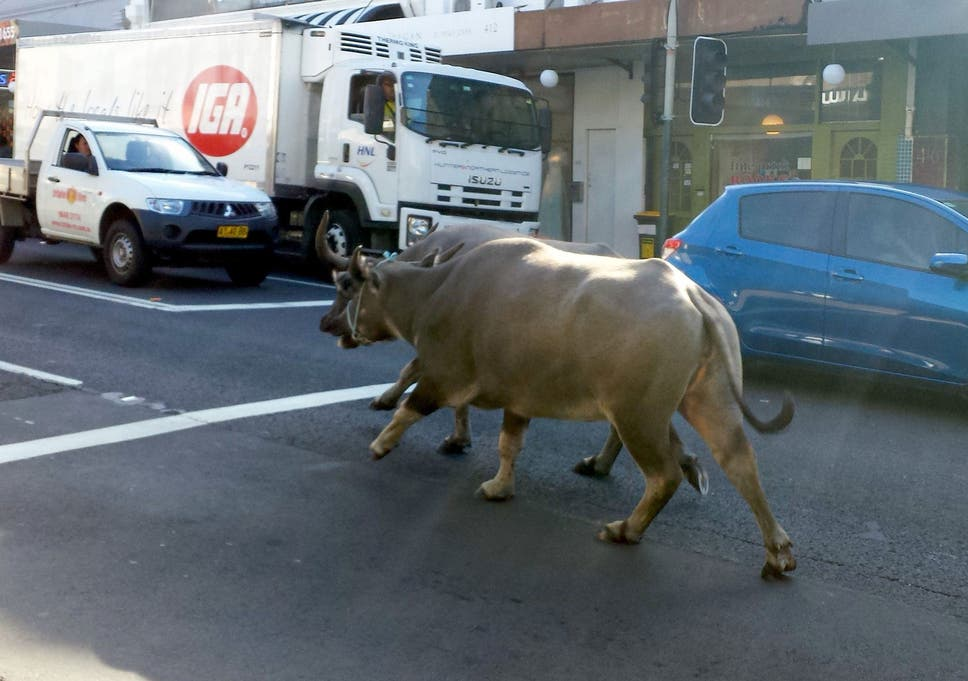 Artistic differences? Water buffalo escape Sydney film set