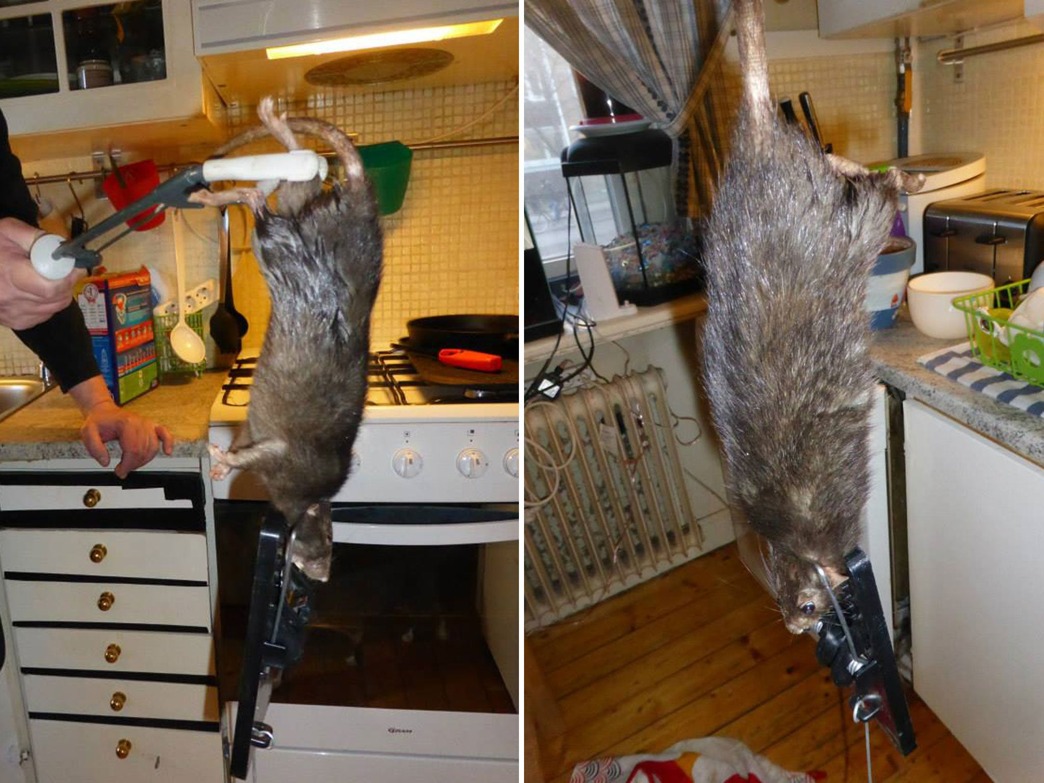 giant rat takes over swedish family�s kitchen after