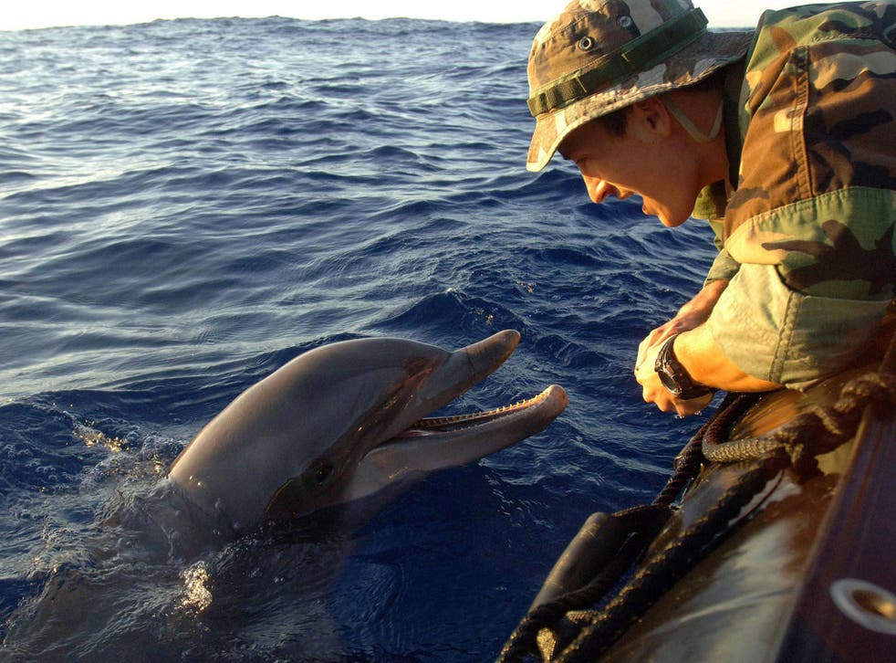 Dolphin duty: the US Navy has a force of 75 Pacific bottlenose dolphins trained to find mines