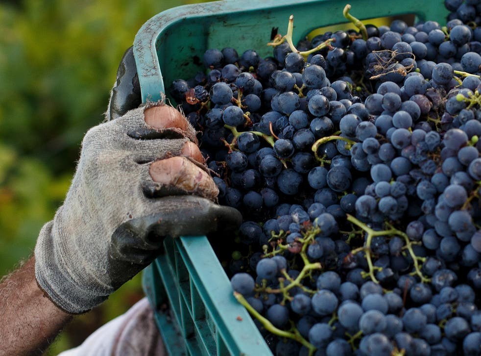 The first wine grapes are set to be harvested from a sloping vineyard in Upper Largo on the south coast of Fife