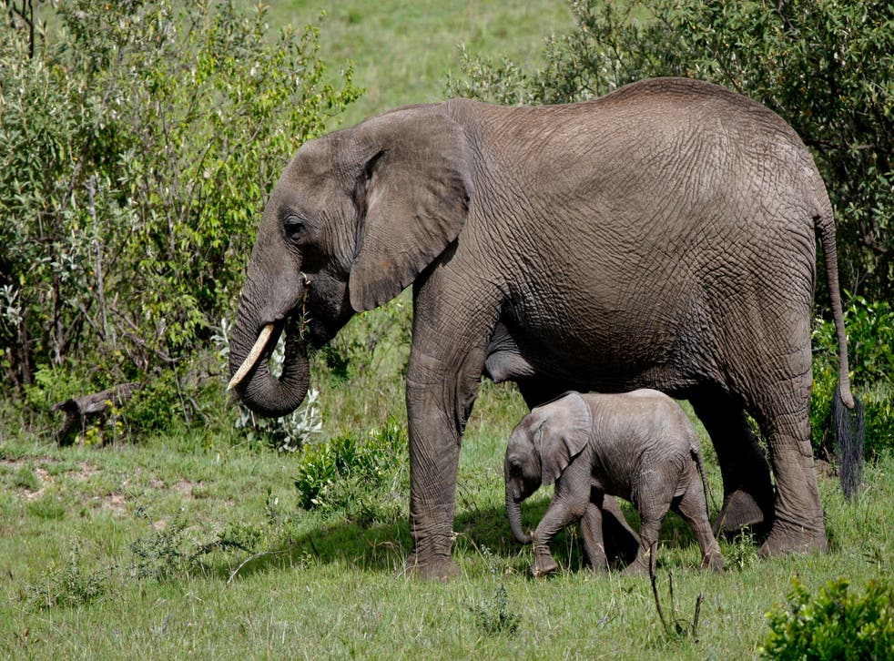 Elephants have been removed from their mothers in the wild