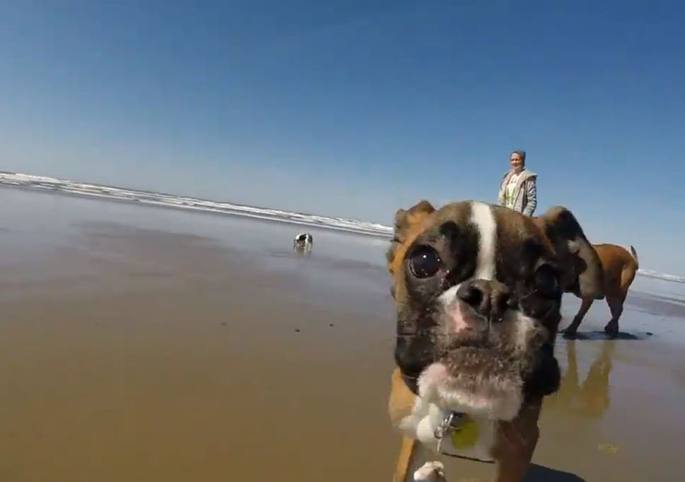Two-legged boxer dog has time of his life on trip to the seaside