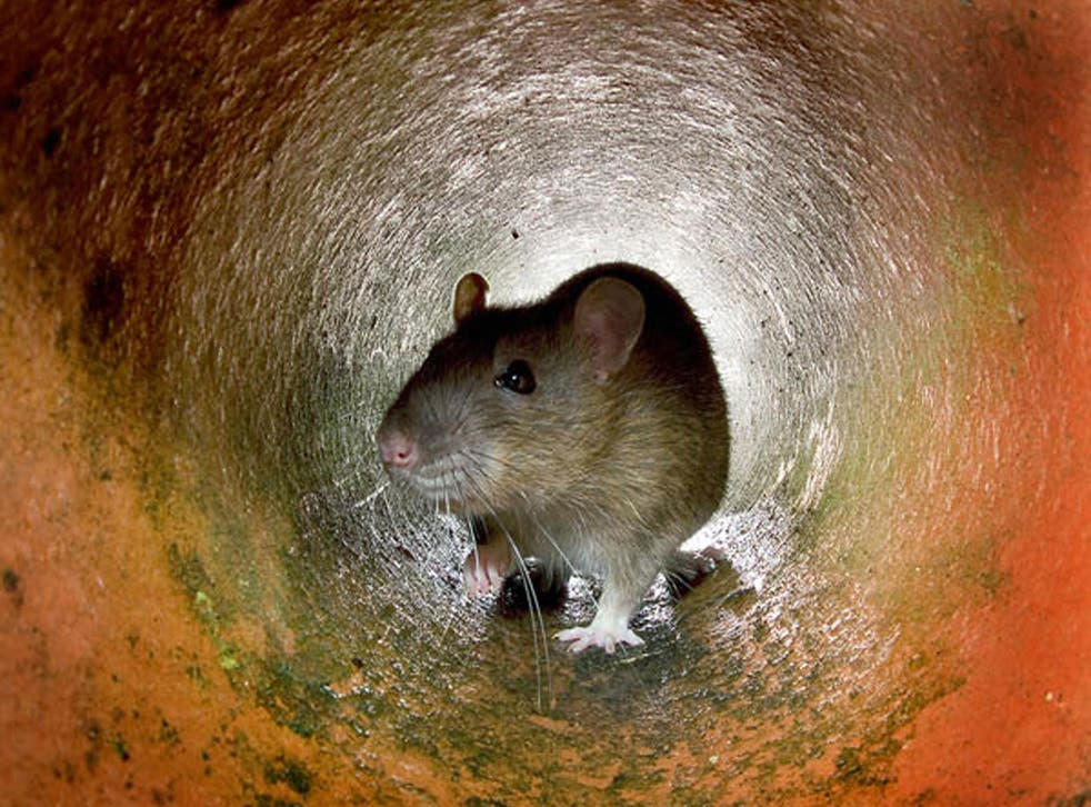 A passenger flight in India was reportedly grounded when members of staff spotted rodents running around the cabin.